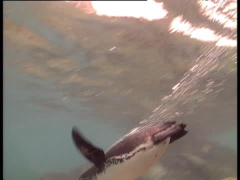 Penguin dives away from camera, Galapagos