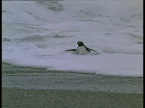 penguin emerges struggling from rough sea and hops to shore cook islands - cook islands stock videos & royalty-free footage