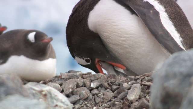 vidéos et rushes de penguin feeding chick, antarctica - caillou