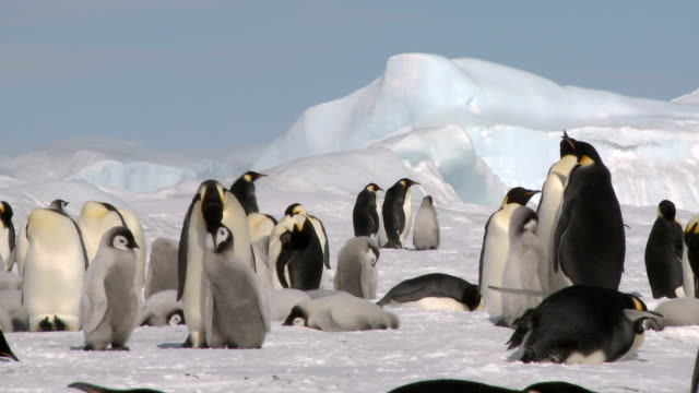 penguin feeding its chick - young bird stock videos & royalty-free footage