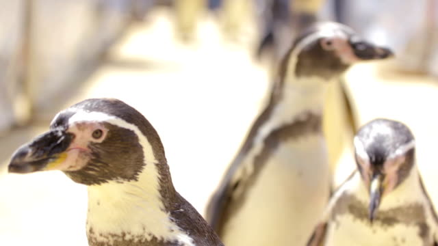 stockvideo's en b-roll-footage met penguin in the open zoo - dierentuin