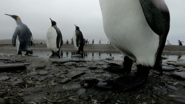 vídeos y material grabado en eventos de stock de paraíso del pingüino - foca peluda