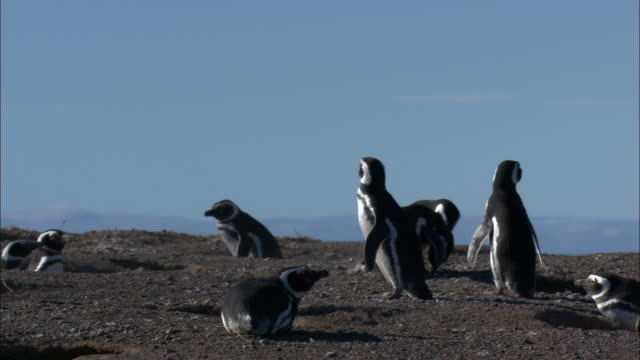 a penguin pesters another penguin, tackling it, and chasing it across a beach. - aggression bildbanksvideor och videomaterial från bakom kulisserna