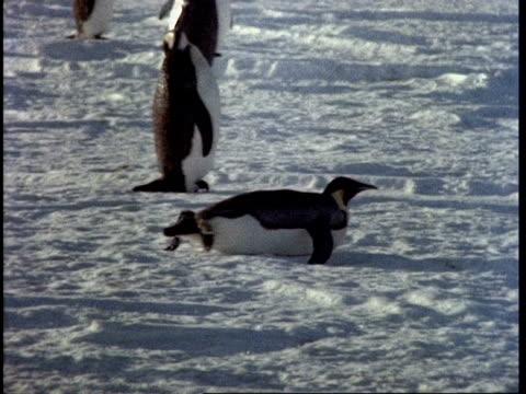 penguin sliding along ice on tummy, stands and walks, antarctica - 押す点の映像素材/bロール