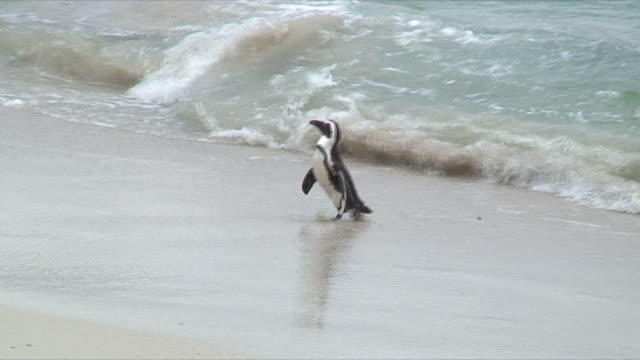 ws zi penguin stepping out of sea onto beach / cape of good hope, south africa - flightless bird stock videos & royalty-free footage