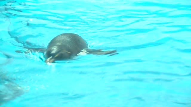 wgn penguin swimming at the shedd aquarium in chicago on april 22 2016 - shedd aquarium stock videos and b-roll footage