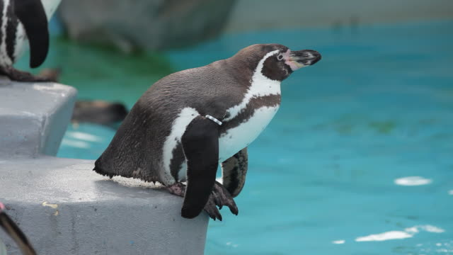stockvideo's en b-roll-footage met penguin - dierentuin