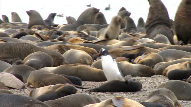 penguin walking through seal crowd - seals stock videos and b-roll footage