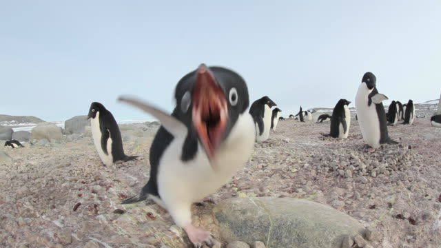 Penguin walks around on rocks before lunging at the camera