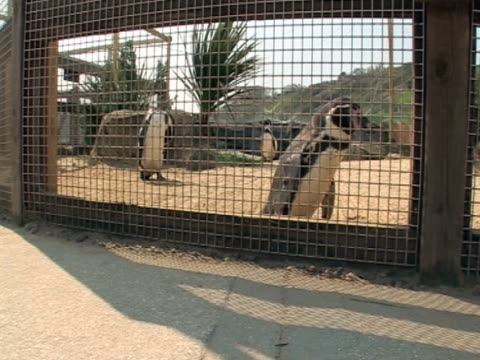 penguin wide shot, in enclosure, curiosity  - scarborough uk stock videos & royalty-free footage
