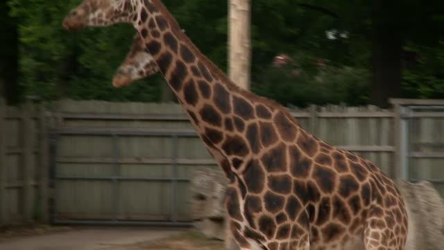 penguins and giraffes at marlow zoo during coronavirus lockdown - hooved animal stock videos & royalty-free footage