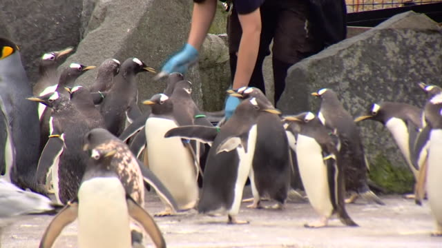 penguins and meerkat at edinburgh zoo as it reopens following coronavirus lockdown as restrictions begin to ease in scotland - mammal stock videos & royalty-free footage