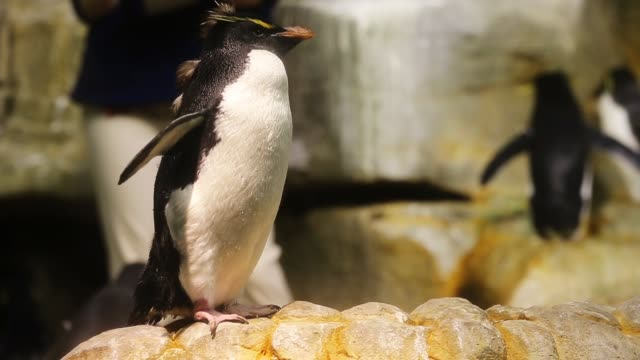 penguins are exhibited at the john g shedd aquarium on october 3 2014 in chicago illinois shedd aquarium houses 32000 animals and hosts more than 2... - shedd aquarium stock videos and b-roll footage