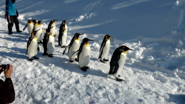 penguins are the stars of the zoo here during the severe winter time the penguin parade in which a herd of king penguins walk the course of some 500... - kamikawa subprefecture stock videos and b-roll footage