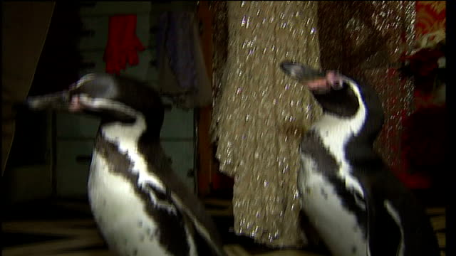 penguins arrive at madame tussauds to open christmas display penguin with david beckham and victoria beckham waxwork / penguins ferrari and charlie... - madame tussauds stock videos & royalty-free footage