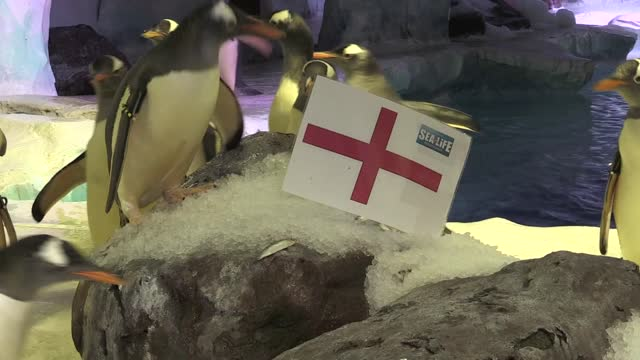 vídeos y material grabado en eventos de stock de penguins at the national sea life centre in birmingham have voted overwhelmingly in favour backing an england win in wednesday's euro 2020 semi-final... - ronda de semifinales
