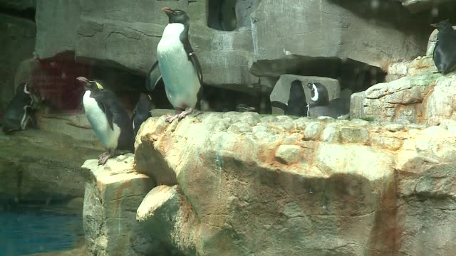 wgn penguins at the shedd aquarium in chicago on april 22 2016 - shedd aquarium stock videos and b-roll footage