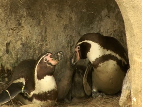 penguins babies, family interaction, protection, teamwork - scarborough uk stock videos and b-roll footage