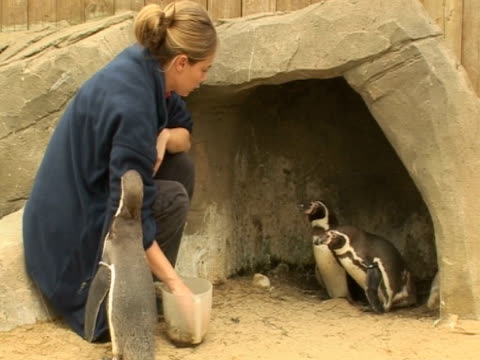 penguins feeding time, human interaction - 英国スカーブラ点の映像素材/bロール