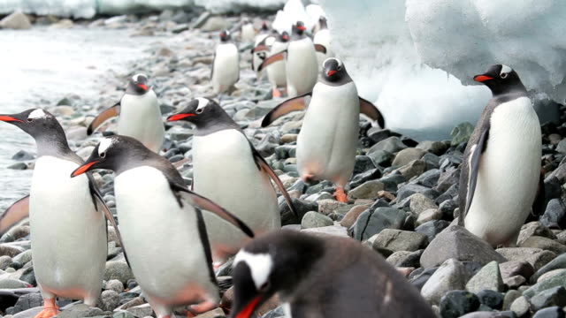 penguins in antarctica - penguin stock videos & royalty-free footage