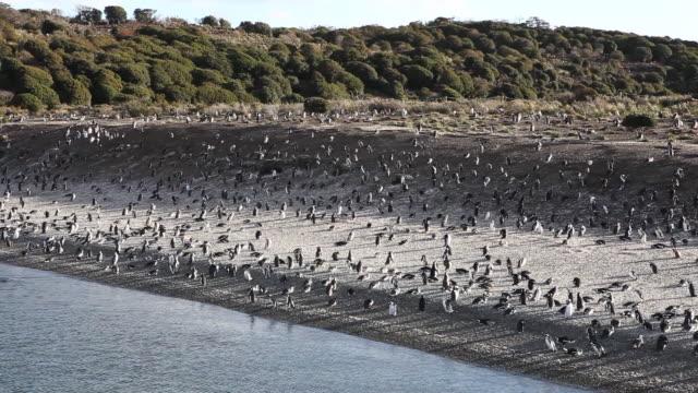 penguins in the beagle channel in tierra del fuego archipelago in argentina - cultura argentina video stock e b–roll