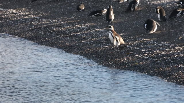 penguins in the beagle channel in tierra del fuego archipelago in argentina - argentinian culture stock videos & royalty-free footage