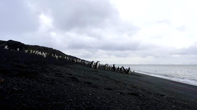 pingviner på antarktis beach - akvatisk organism bildbanksvideor och videomaterial från bakom kulisserna