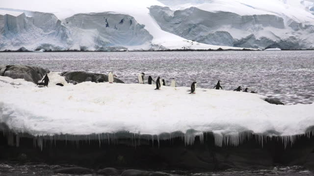 vidéos et rushes de penguins on rocky peninsula, hydrurga rocks, antarctic peninsula, southern ocean - manchot
