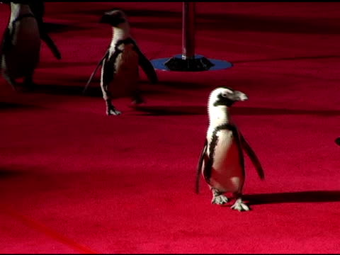 penguins on the red carpet at the 'mary poppins' 40th anniversary and launch of the special edition dvd arrivals at the el capitan theatre in... - エルキャピタン劇場点の映像素材/bロール