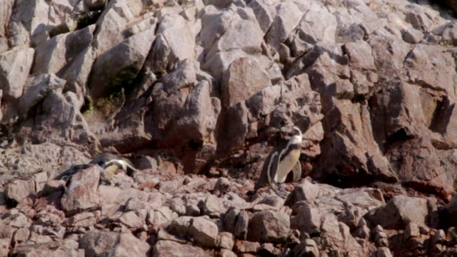 penguins on the rocks - waddling stock videos & royalty-free footage