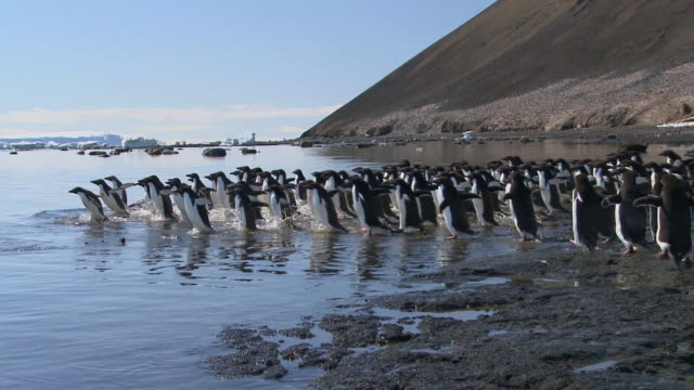 WS PAN Penguins running into sea / Devil Island, Antarctic Peninsula, Antarctica