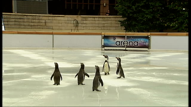 penguins skate on ice rink at broadgate circus; penguins flapping wings / close shots penguins waddling on ice / penguins with keepers / woman... - waddling stock videos & royalty-free footage