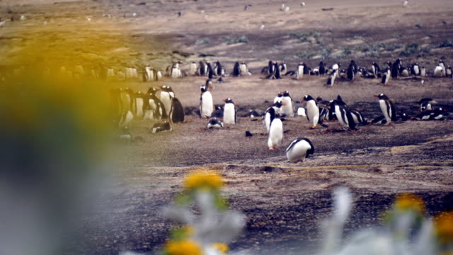 vidéos et rushes de pingouins, debout sur un rocher - oiseau qui ne vole pas