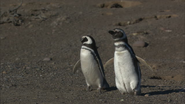 ms, penguins standing side  by side on barren ground, punta tombo, argentina - side by side stock videos & royalty-free footage