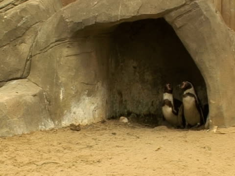 Penguins underwater rock, protecting young, security, teamwork
