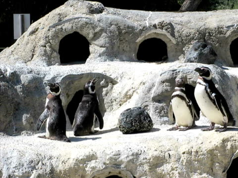 stockvideo's en b-roll-footage met penguins (pal) - dierentuin