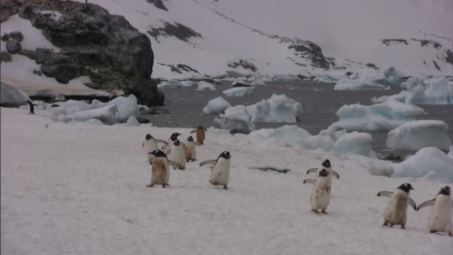 penguins waddle over the snow near the shoreline. - kälte stock-videos und b-roll-filmmaterial