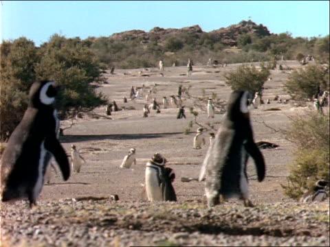 penguins walk in the desert. - flightless bird stock videos & royalty-free footage