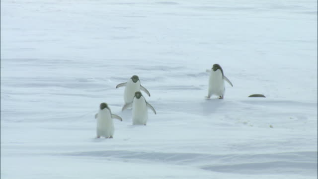 penguins walking and sliding along ice cap antarctic - slippery stock videos & royalty-free footage