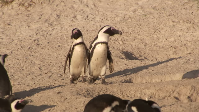 ms ts penguins walking on beach / western cape, south africa - boulder beach western cape province stock videos and b-roll footage