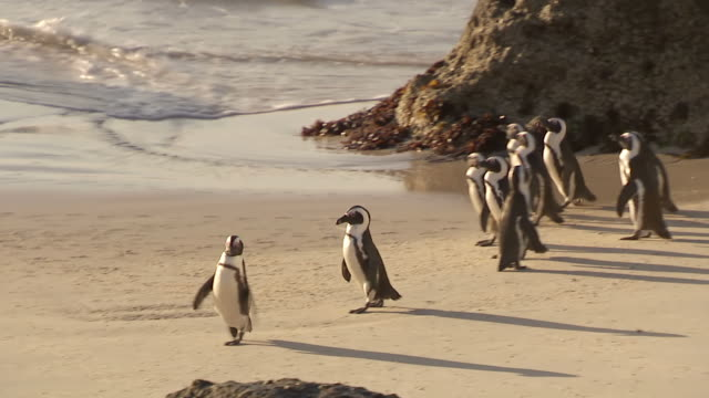 ms ts pan penguins walking on beach / western cape, south africa - boulder beach western cape province stock videos and b-roll footage