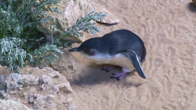 penguins walking on sand - penguin stock videos and b-roll footage