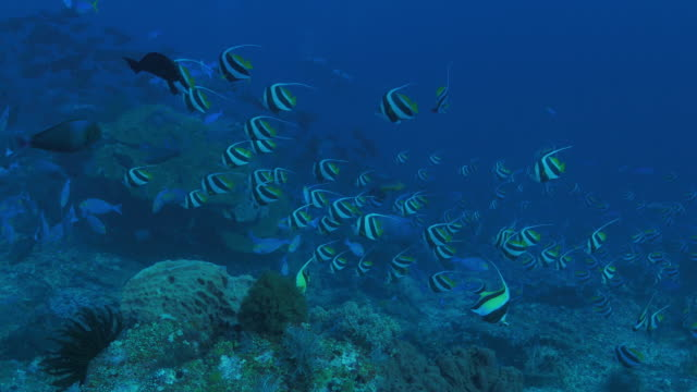 pennant butterfly fish schooling through coral reef, komodo (4k) - moorish idol stock videos and b-roll footage