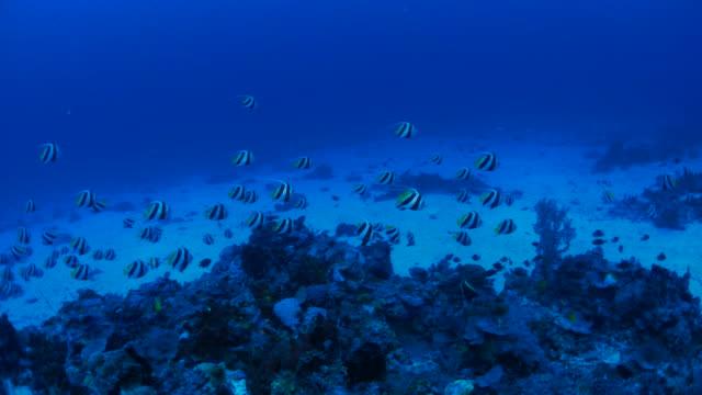 Wimpel vis (Banner vis) onderwijs in oceaanbodem