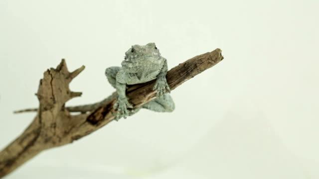 vídeos de stock e filmes b-roll de pensativo lagarto sobre um ramo - olhar de lado