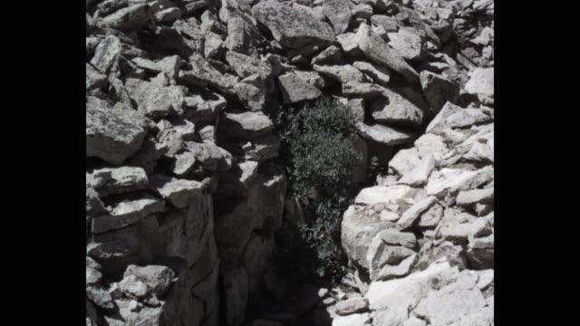 penstemon flowering plant growing between stones - flowering plant stock videos & royalty-free footage