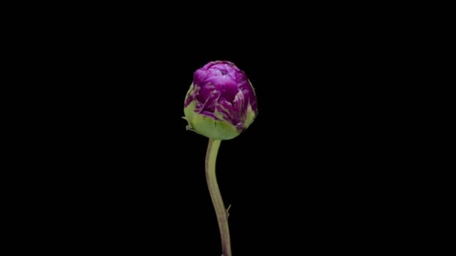 peony blooming timelapse - flower head stock videos & royalty-free footage