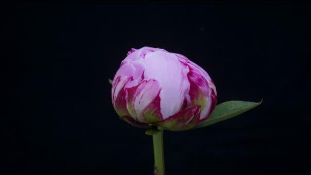 peony blooming - flower head stock videos & royalty-free footage