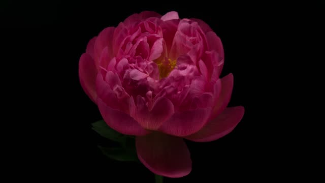 peony blooming - flower head stock videos & royalty-free footage