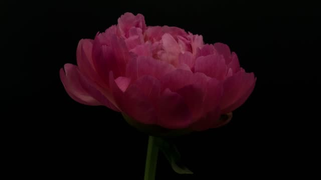 peony blooming - flower stock videos & royalty-free footage